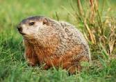 Gordon D. Groundhog Rest in Peace